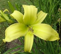 Daylily // Taglilie hellgelb großblütig (Gakas) Tags: taglilie daylily hemerocallis flower flowers galb yellow