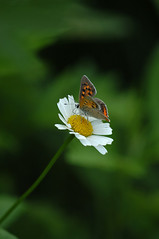 The Small Copper 02 (dolphin_dolphin) Tags: flower nature wow butterfly insect wonder topv333 bokeh naturesgallery