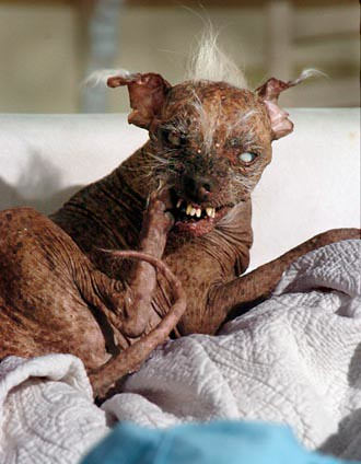 ugly dog sam. Sam, World#39;s Ugliest Dog Champ
