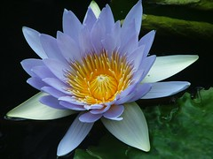 Water Lily - cornflower shade