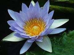 Water Lily - cornflower shade