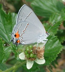 Grey Hairstreak, P7020072crop (Anita363) Tags: orange black fauna wow butterfly insect ilovenature grey newjersey tail small gray nj july 100v10f lepidoptera tailed medford hairstreak gtag wikimedia lycaenidae bearswamp bearswampredlionpreserve hawkinroad bmna ventral burlingtoncounty strymonmelinus gossamerwing grayhairstreak favewings theclinae strymon greyhairstreak