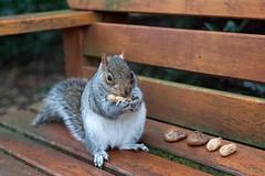 Gathering Nuts (fotojak1) Tags: squirrel rodent animal wildlife edinburghsquirrels outdoor outside scotland autumn cute bushytail easterngray edinburgh botanicgraden handheld nikkor50mmf18 nikond7100 johnritchie