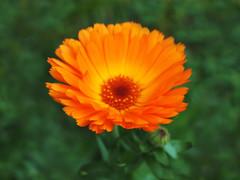 Calendula (ekaterina alexander) Tags: calendula flower orange marigold flowers ekaterina england alexander sussex nature photography winter pictures