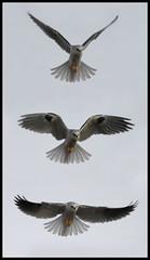 (mhawkins) Tags: kite elanusleucurus whitetailedkite bird