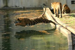 Tiger Leaps in to the water!  I'm going to really miss these guys ;( by Nikographer [Jon]
