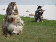 CATCH ME IF YOU CAN! (Jan2eke) Tags: dog pet pets dogs fly flying jump jumping top20dogpix 5bestdogs iluvmydogfav beardie beardedcollie beardies