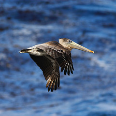 Pelican in flight (zwieciu) Tags: ocean california deleteme5 sea deleteme8 usa deleteme deleteme2 deleteme3 deleteme4 deleteme6 bird deleteme9 deleteme7 topf25 tag3 taggedout 1025fav canon top20favorites eos top20np top20animalpix saveme4 tag2 300d saveme tag1 top20wings saveme2 saveme3 deleteme10 quality flight 100v10f pelican mostfavorited pointlobos brownpelican pick10 400mm pelecanusoccidentalis onetopfave 83points interestingness446 top20birdshots interestingness150 i500 lastatebird fcbif