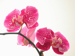Orchids on White (The Life of Bryan) Tags: pink red plant orchid flower bright vivid suggestive vulva 64points bestofpink