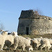 Our Angora goats walking past the pigeonnier