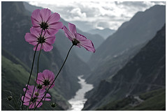 fragile (idogu) Tags: china pink flower 510fav wow river landscape ilovenature interestingness bravo scenery gutentag topv1111 topv999 2550fav 50100fav gorge topv777 yunnan tigerleapinggorge 1000views topv1777 my10photos xxxxx 250f 150fav 1show remdegrouped websetfavorite selectshow