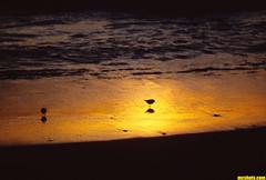 BabySandPipers (mcshots) Tags: ocean california winter sunset usa beach nature water birds reflections coast sand socal mcshots southbay sandpipers