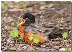 American Robin (Betty Vlasiu) Tags: american robin turdus migratorius bird nature wildlife