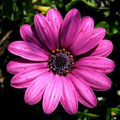 Osteospermum - by macropoulos