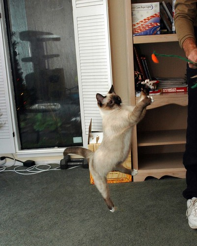 Jumping Siamese cat