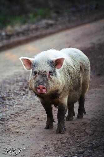 Traveling Pig