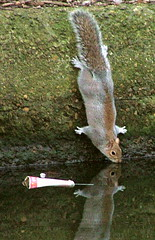 Regents Canal, London, England - Squirrel - January 28th 2007 (law_keven) Tags: greatbritain england london water animal canal squirrel drink britain critter regentscanal kingscross instantfav