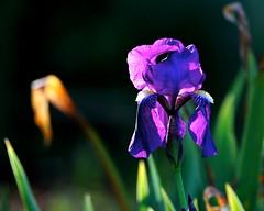 Depth of Beauty (Don Baird) Tags: black flower green yellow spring purple blossom bokeh tan bloom twocolors top20bokeh top20zen blueribbonphotography