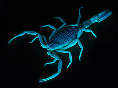 Blue Death (Furryscaly) Tags: blue animal closeup night bug dark dangerous neon glow shine bright arachnid uv extreme creepy scorpio scorpion reflect fluorescent blacklight exoskeleton reflective captive ultraviolet shining claws animalia pincers arthropoda luminescence bluegreen captivity poisonous deadly venomous beadyeyes arachnida invertebrate florescent arthropod coldlight luminescent palps buthidae leiurus chelicerae neurotoxin scutes pedipalps ld50 scorpiones exoticpet chelae leiurusquinquestriatus alexial deathstalkerscorpion israelidesertscorpion palestineyellowscorpion palestinianyellowscorpion omdurmanscorpion egyptiandeathstalker neurotoxicvenom buthid tergites lquinquestriatus arabiandeathstalkerscorpion taxonomy:kingdom=animalia taxonomy:class=arachnida taxonomy:phylum=arthropoda taxonomy:order=scorpiones taxonomy:binomial=leiurusquinquestriatus taxonomy:family=buthidae taxonomy:genus=leiurus