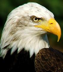 the look (patries71) Tags: zoo eagle baldeagle explore beeksebergen dierentuin arend naturesfinest blueribbonwinner s5600 patries71 anawesomeshot impressedbeauty goldenphotographer