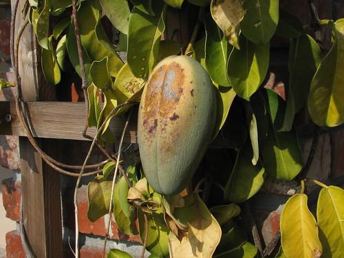 Jasmine (Stephanotis) Fruit