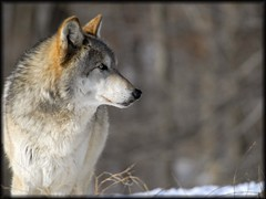 Lukas (tref0608) Tags: winter snow ny newyork nature animal mammal nikon wolf wildlife lukas d200 wolves vr 80400 southsalem superaplus aplusphoto wolfconservation