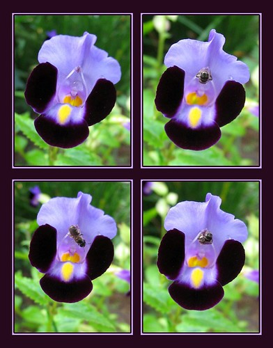 Collage of Torenia flower images, with a visiting bee!
