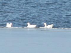 mutt geese