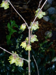 Chimonanthus with Sarcoccoca