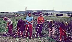 Village girls in tobacco field, Polyanovo, Bulgaria 1973 (ali eminov) Tags: women bulgaria agriculture tobacco villagers villagegirls muslimwomen headscarves bulgaristan polyanovo shalvars şalvars