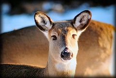 My Deer Friend (DrewMyers) Tags: park winter nature closeup virginia nationalpark dof wildlife deer national shenandoah naturescenes shenandoahnationalpark interestingness305 calendarshot i500 drewmyers easternnorthamericanature animalkingdomelite abigfave nikond80 drewmyersphotonet explore13feb07 thedslrclass1assignment3 photofaceoffwinner pfogold