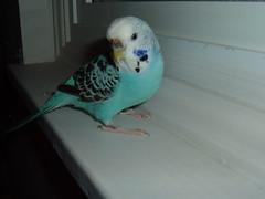 Birds 020 (Dee24) Tags: blue pet budgie