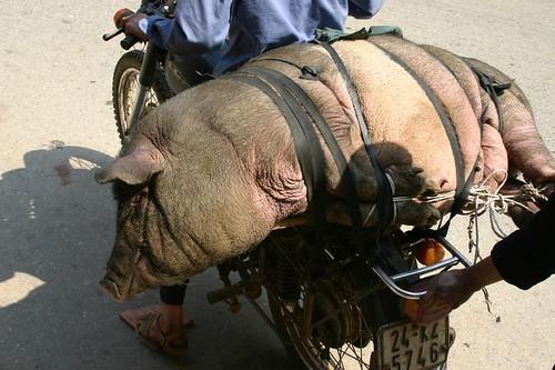 Pig transport...