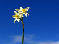 (frappu) Tags: flowers blue light sky white flower color yellow canon bright blu a95 powershot daffodil jonquils powershota95