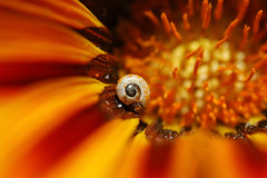 Rollin in it (David Lev) Tags: plants flower macro bravo searchthebest insects gazania mygarden excellence nirim magicdonkey theworldthroughmyeyes isawyoufirst 1on1allbugs superbmasterpiece twothumbswayup