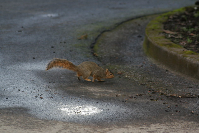 Road Squirrel