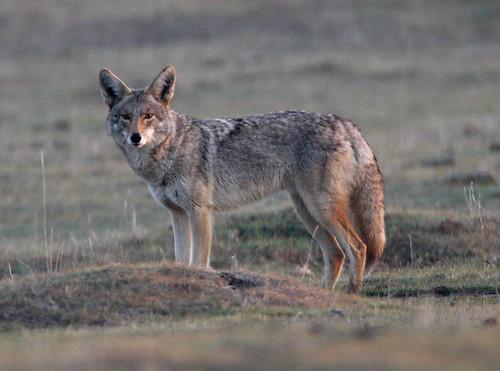 Coyote at dawn