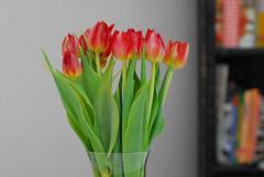 Tulips (hkkbs) Tags: flowers red flower macro tulips sweden 100views 300views 200views blomma sverige nikkor blommor westcoast röd tukip tulpan tulpaner 60mmf28dmicro västkusten nikond200 onlysharpend