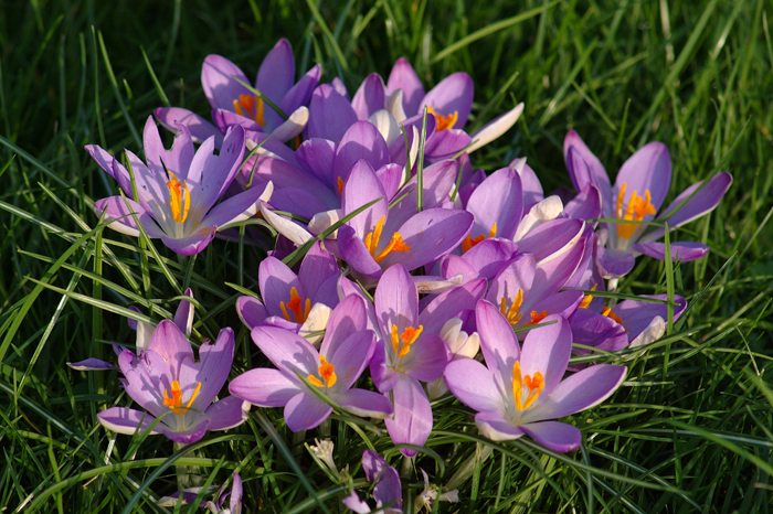 Crocus :: Click for previous photo