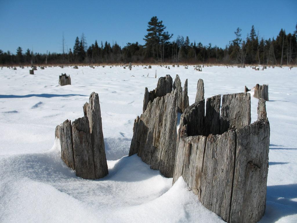 Cedar stumps