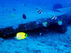 Hawaiian pennantfish (ムレハタタテダイ) #9236
