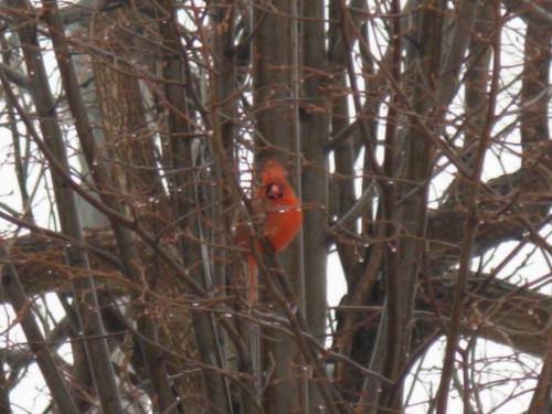 March Cardinal