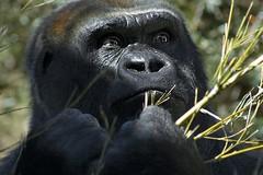 Gorilla 2 (nailbender) Tags: zoo birmingham jamie gorilla alabama jungle primate birminghamzoo nailbender impressedbeauty jdmckinnon