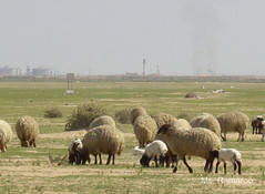 Nature vs. industry! (Ramaroo Q8) Tags: sheep kuwait abdeli