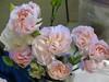 Tausha's Pink Carnations