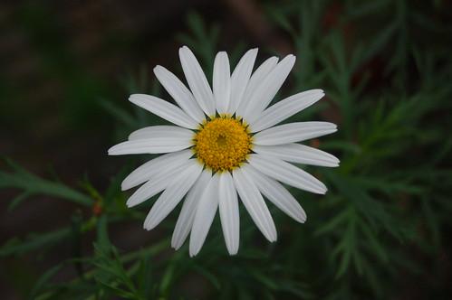 Argyranthemum frutescens ssp. canariae (Compositae)
