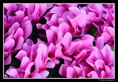 Cyclamen (Neus de Saavedra) Tags: flor rosa colores cyclamen seda fucsia