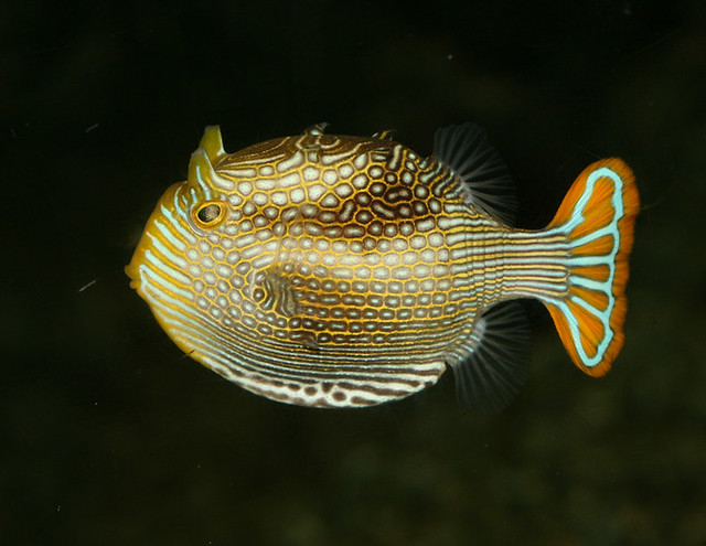 ornate boxfish, IMG_1607x3c