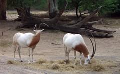 Arabian oryx videos photos and facts  Oryx leucoryx  Arkive