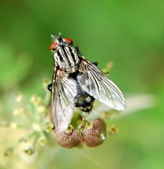 muscidae fly.. ? (freebird4) Tags: uk macro fly shropshire nikond50 naturereserve specnature animalkingdomelite freebird4 muscidaefly